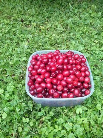 Dereń owoce z własnego ogrodu