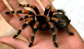 отличная замена рыбкам-паук птицеед павук тарантул недорого экзотика