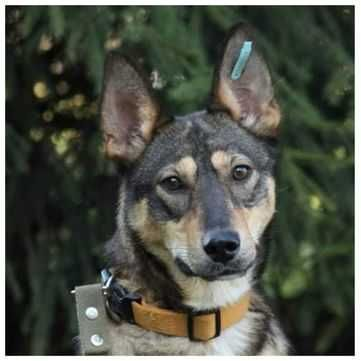 Ариша, контактная и энергичная собака, 1 год, стерилизована