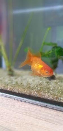 Złota rybka welonka