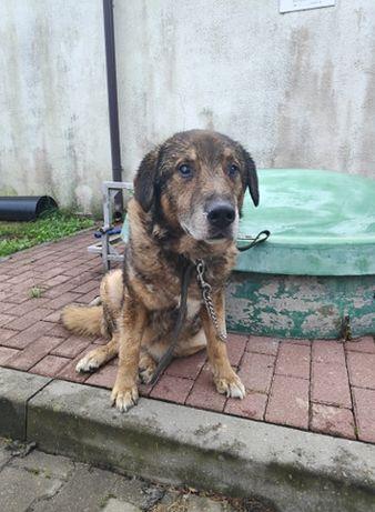 MISIEK - poczciwy spokojny psiak czeka na domek!