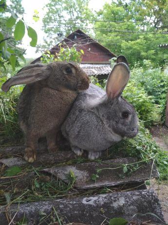 Кролики (самочки) при желании покупателя можно покрыть кролём.