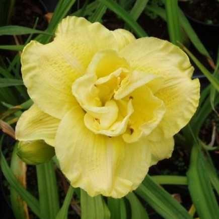 Садовые растения -  лилейник махровый,Лилия, анемона.