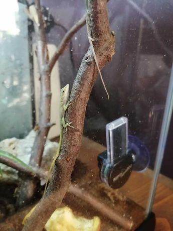Anolis zielony jaszczurka okolice Krakowa