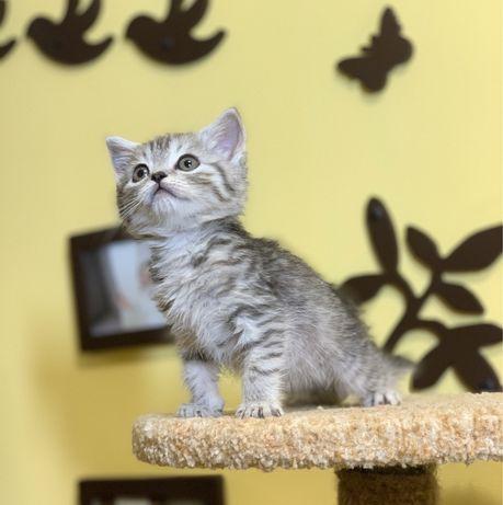 Шотландские котята табби, котенок девочка страйт
