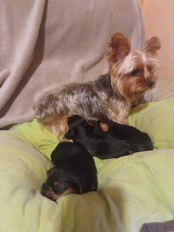 Yorkshire Terrier Macho c/Lop e Afixo