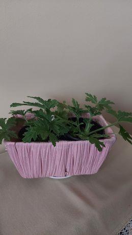 Anginka - Geranium - Lecznicze rośliny