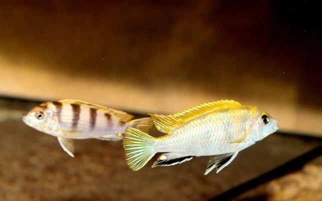 Labidochromis Perlmutt Pyszczaki Malawi stacjonarnie od ręki Gdańsk
