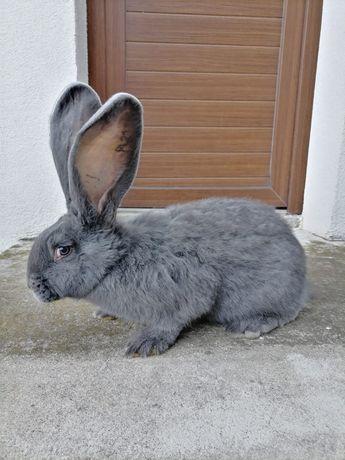 Sprzedam króliki rasy Olbrzym Belgijski Niebieski i Czarny
