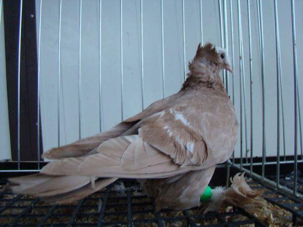 gołębie ozdobne łyska saksońska łyski saksońskie