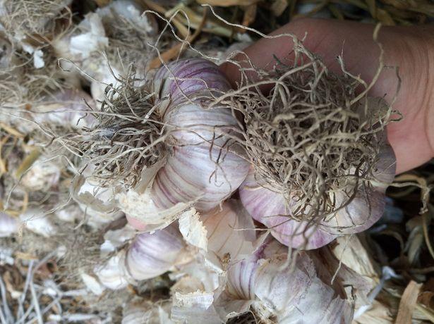 czosnek harnaś zimowy polski gruby do sadzenia zdrowy z nasionek