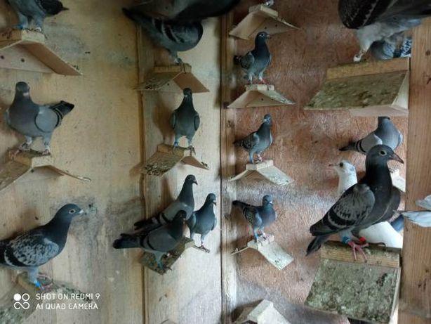 Sprzedam młode gołębie PILNIE
