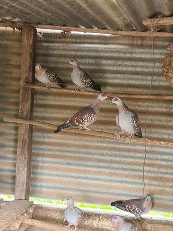 Pombos da Guiné 25€ casal