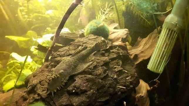 Lignitowe bryły akwariowe