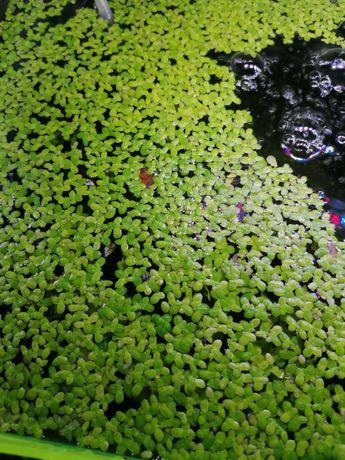 Rzęsa wodna, roślina pływająca.