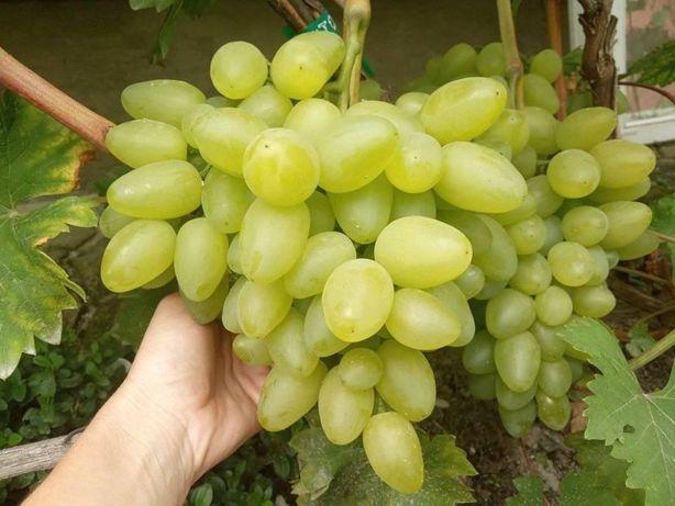 Саджанці винограду ранні стійкі сорти