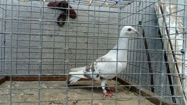 Gołębie Samiec Srebrniak Perłowy Wysyłka