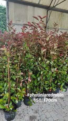 Photinia Red Robin 50cm-100cm-150cm