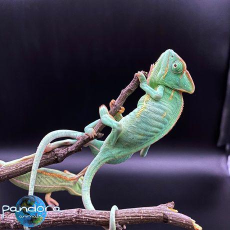 Йеменский хамелеон Chamaeleo calyptratus Питомник