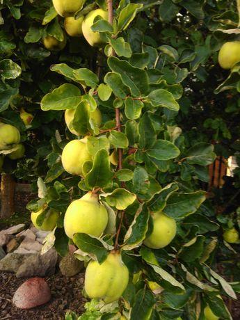 Pigwa owoce ekologiczne