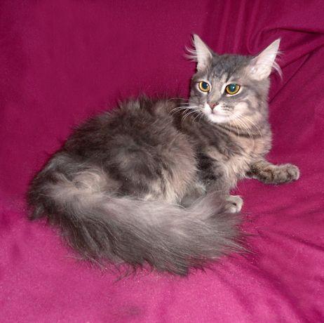 Голубой ПУШИСТЫЙ котенок-мальчик АЛЕКС (7,5 мес.), очень красивый