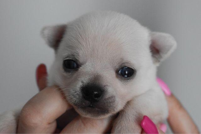 Chihuahua szczenięta