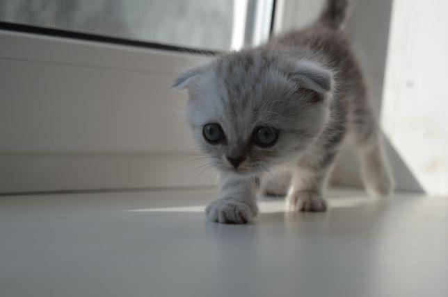 Шотландский вислоухий котёнок (скоттиш фолд) Мальчик