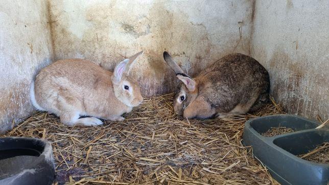 Vendo coelhos caseiros