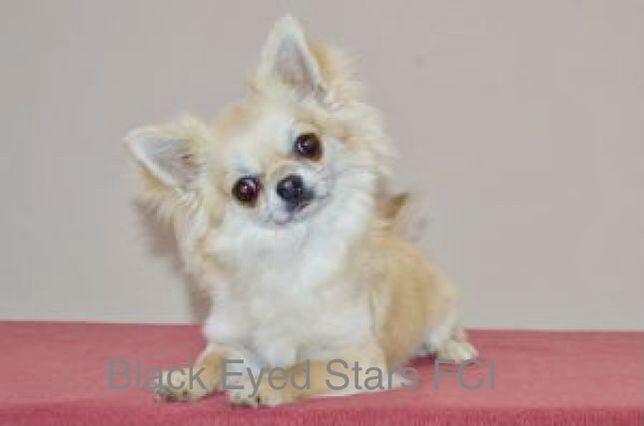 Chihuahua dlugowlosy ZKwP reproduktor szczenięta zapowiedź miotu