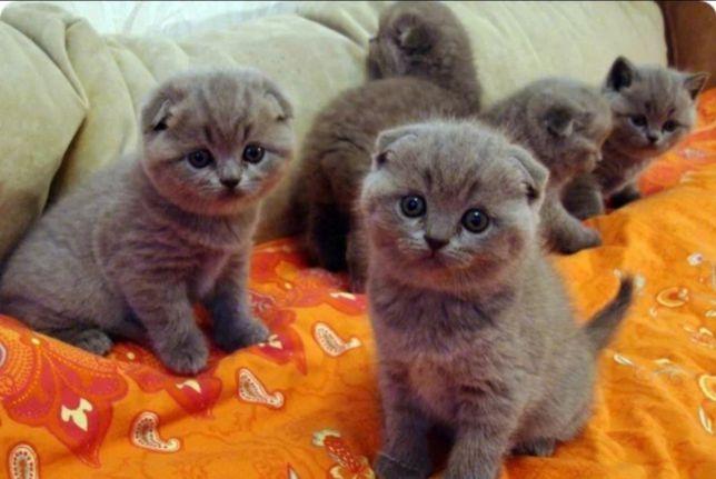 Вислоухие котята ждут вас