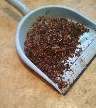 Уничтожение, травля тараканов, потравить тараканов. Дезинфекция