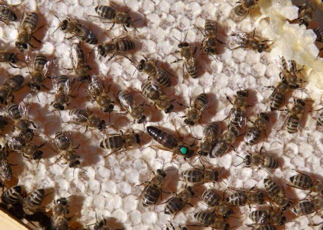 Пчелиные матки. (F-1). С 24 мая. Varro Tolerance. Horst Greve Carnica