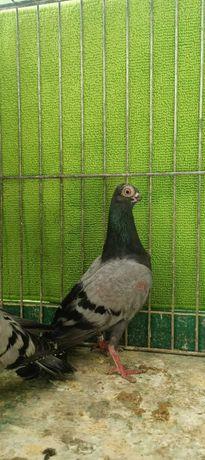 Staluch,staluchy - gołębie ozdobne