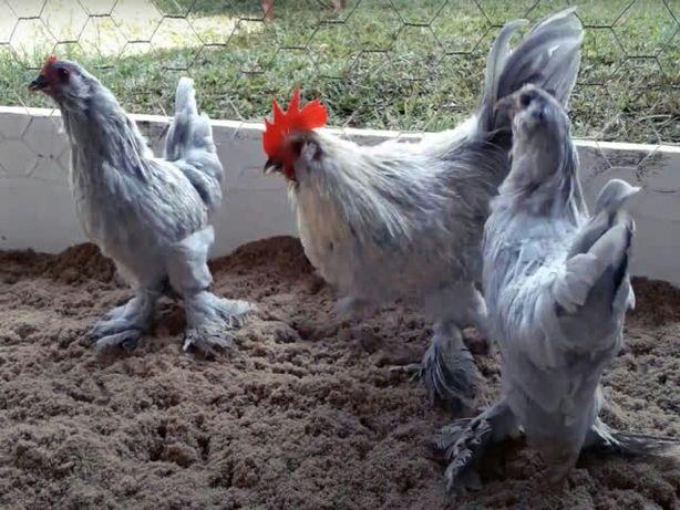 Яйцо инкубационное и цыплята, Мильфлер: лавандовый.