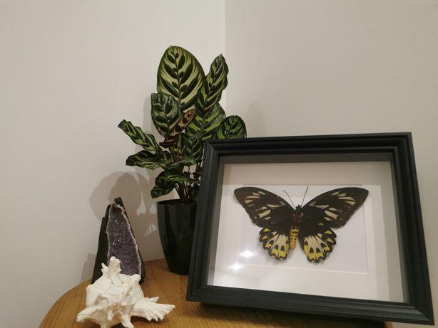 Quadro com borboleta real Cape York Birdwing