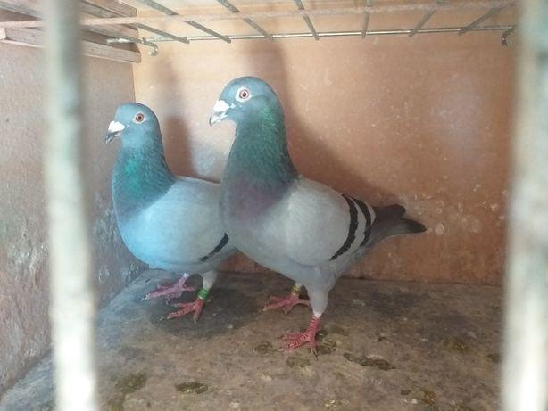 Pombos correios machos por nao voar com maxos.apenas 2 femeas