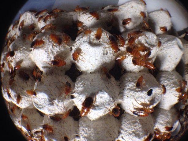 Туркменский таракан Кормовые насекомые Корм для стрижей