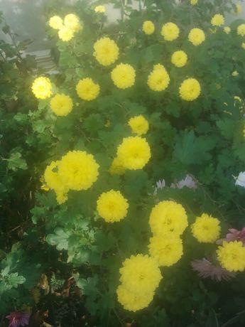 Желтые хризантемы шаровидные