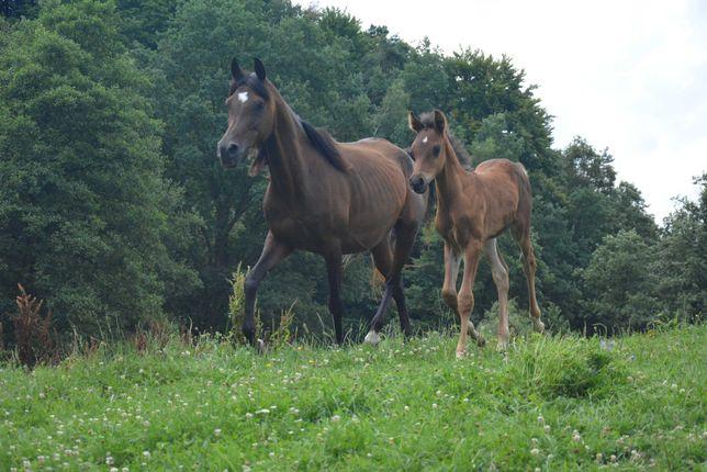 Sprzedam konia - piękna klacz arabska.