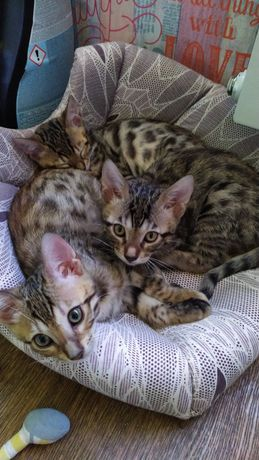 Котята бенгалы(бенгальские)