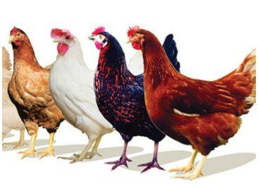 продаємо якісні яйця для інкубації, кури Тетра-Н