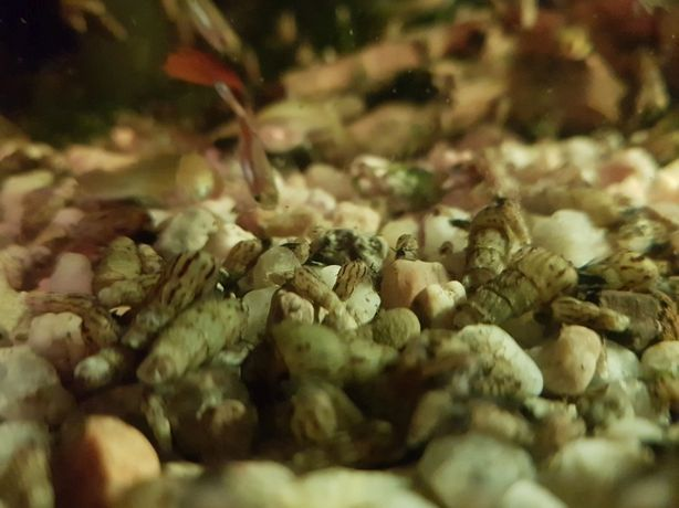 Ślimaki, ślimak, Świderki, Świderek