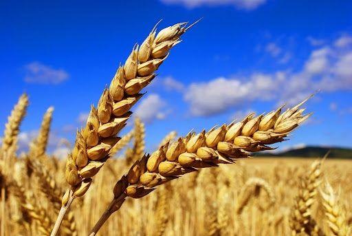 Продам пшеницю урожай 2021 року. Ціна: 6.50 кг