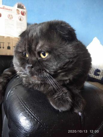 Кот шотландский вислоухий на вязку