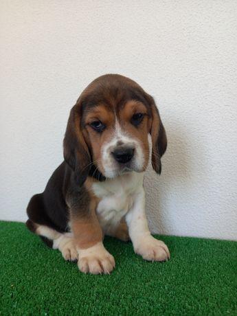 Beagle tricolor.
