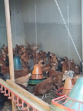 Młode kury nioski przed jajkiem 20 tyg