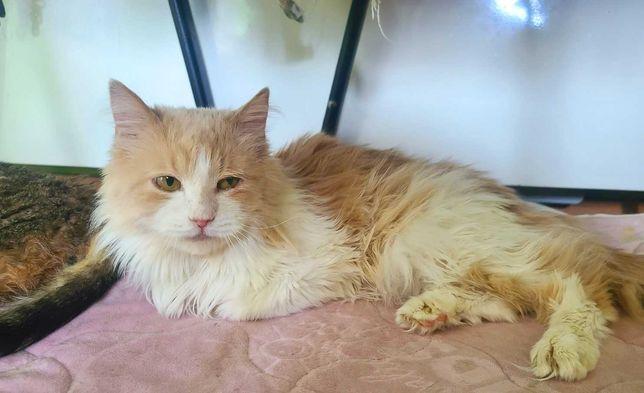 Кошка редкого окраса - бело-рыжая Персея. 5 лет. Стерилизована