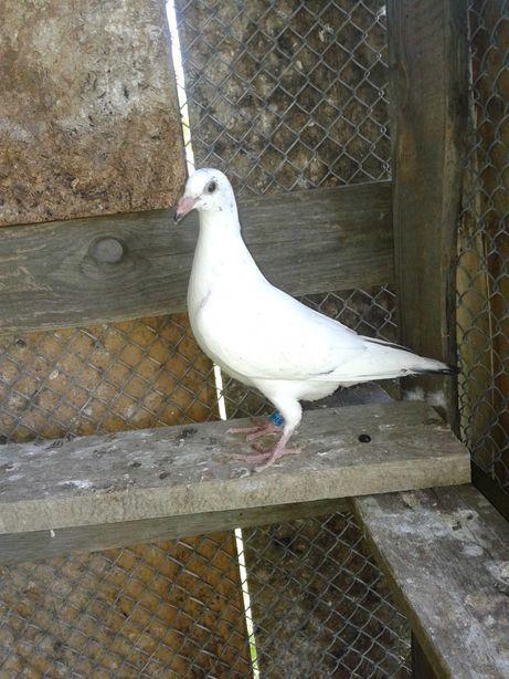 Młode gołębie - tajgery i inne kolorowe
