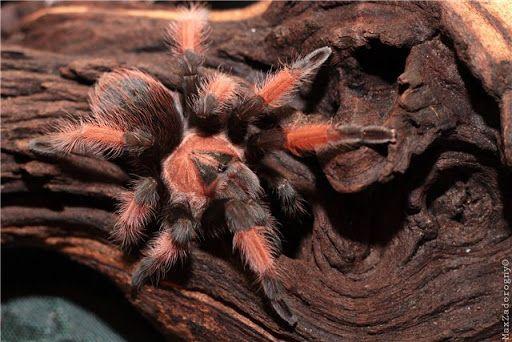 павуки птахоїди різного віку тарантул павук паук брахіпельма новачку