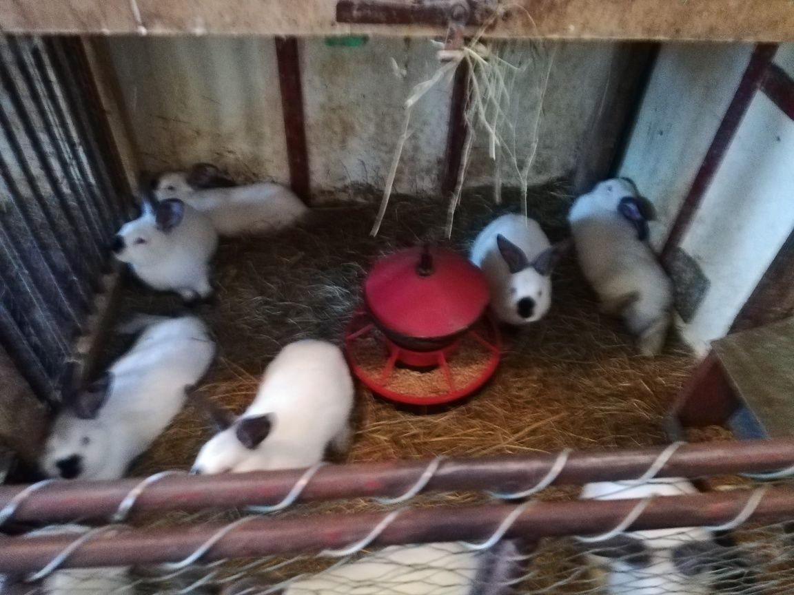 Młode króliki kalifornijski
